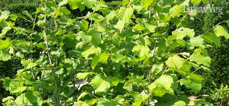 http://res.cloudinary.com/growinginteractive/image/upload/q_80/w_314/v1446845948/Plants/hazel-2x.jpg