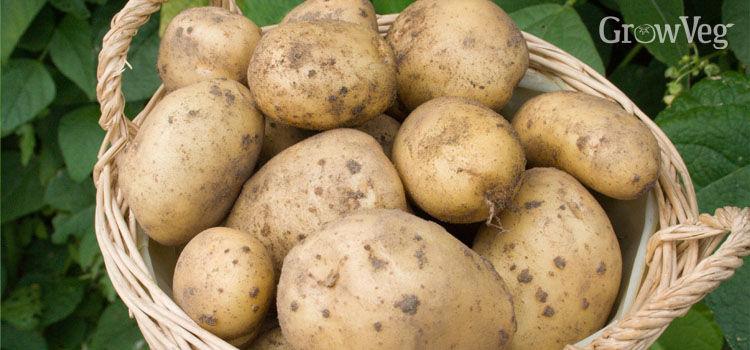 how to grow pink eye potatoes