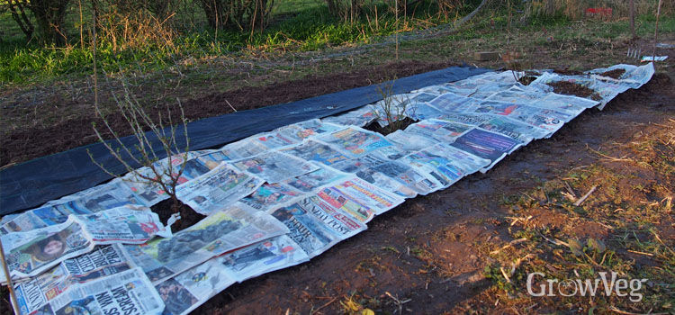 Newspaper mulch in a fruit garden