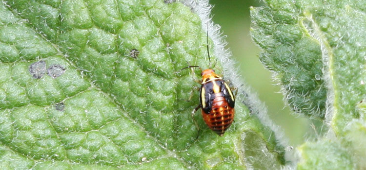 Four-lined plant bug nymph
