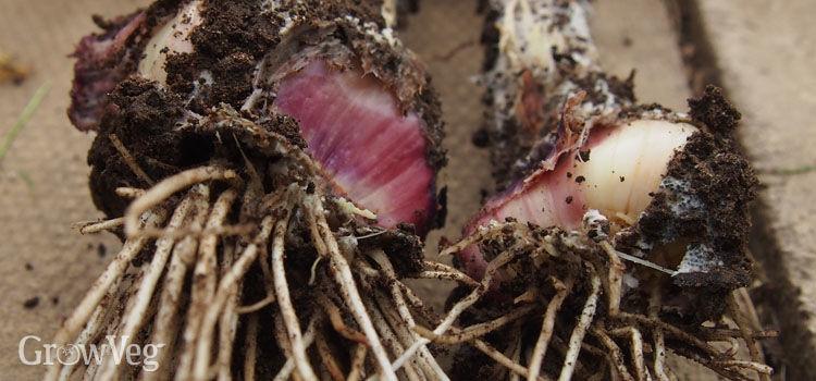 Onion (allium) white rot on garlic