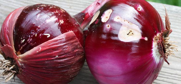 Onion root maggots