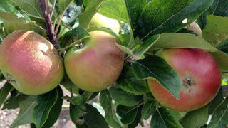 How to Harvest, Store and Process Apples