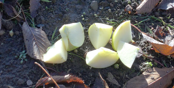 Apple pieces on ground