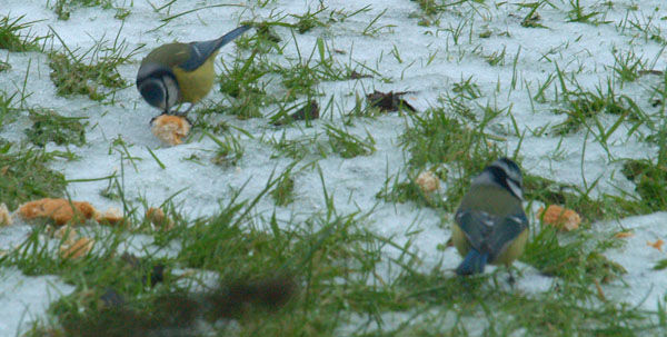 Birds eating on snow covered lawn