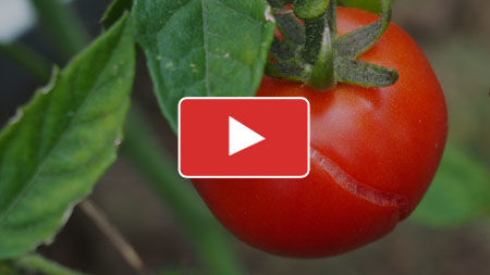 Tomato Problems: Fix Issues Affecting Your Tomatoes