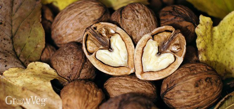 Walnuts can help boost brain health