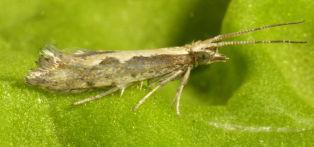 Adult diamondback moths do not cause any damage
