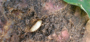 Cabbage root fly larva are about the size of a grain of rice
