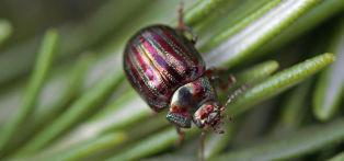 Rosemary leaf beetle