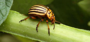 Adult Colorado potato beetles lay groups of bright yellow eggs