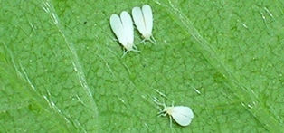 Greenhouse whitefly