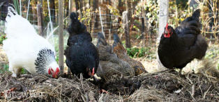 Chickens can be a great complement to a vegetable garden