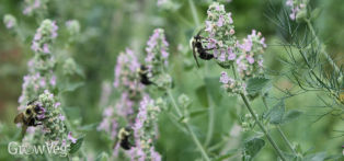 Bees attracted to catnip flowers