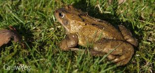 Frog in a garden, providing organic pest control