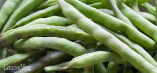 Beans (Bush Snap)