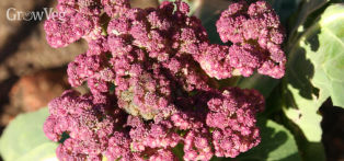 Broccoli (Purple Sprouting)