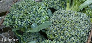 Calabrese, also known as Broccoli (Green)
