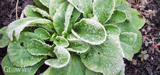 Mache, also known as Lamb's Lettuce, Corn Salad