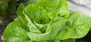 Lettuce (Headed)
