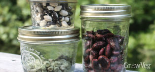 Saved seeds of beans and peas for replanting