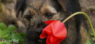 Border terrier puppy chewing a tulip flower