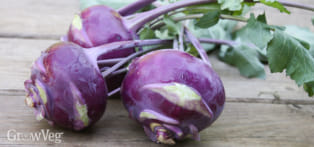 Freshly-harvested kohlrabi