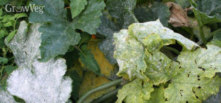 Squash leaves can be susceptible to powdery mildew