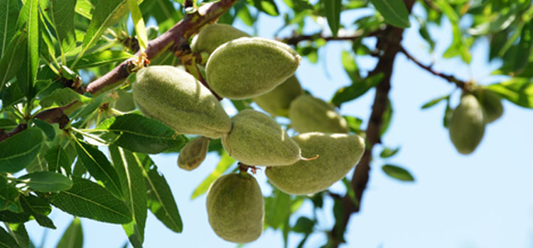 http://res.cloudinary.com/growinginteractive/image/upload/w_314/v1447446892/Plants/dreamstime-almond-1x.jpg