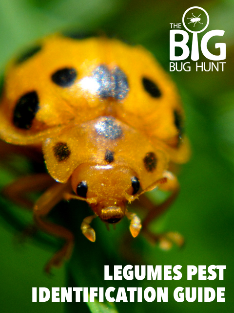 Download a free guide to avoiding legume bugs