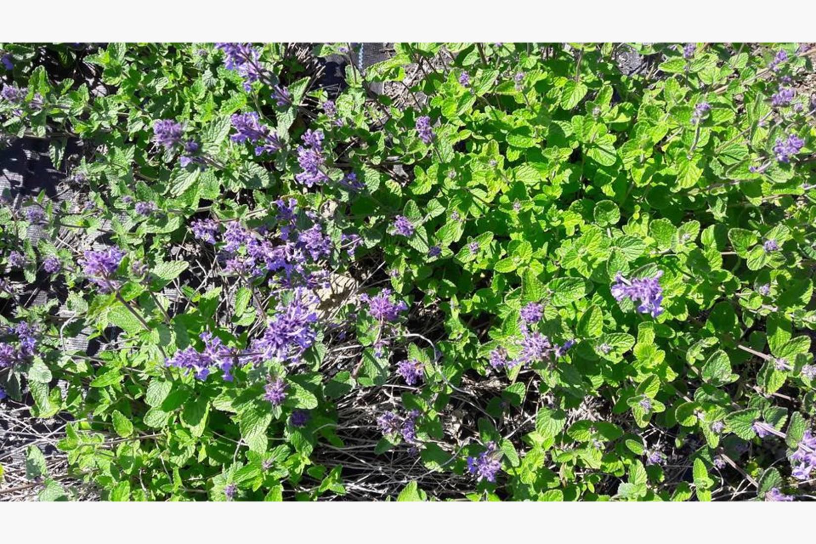 En annen hardfør og ( hos insekter) meget populær plante er kattemynte, her varianten prydkattemynte.