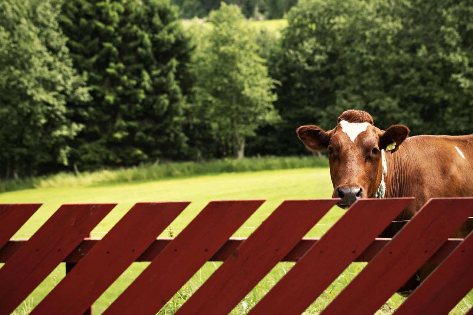 Om sommeren har vi besøk av kuer på sommerbeite. Vi har også åpen gårdskafé fra 2.juli - 1.aug. ons-søn 12-16