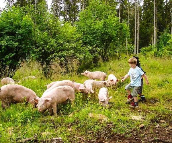 Bilde fra Med svin på skogen