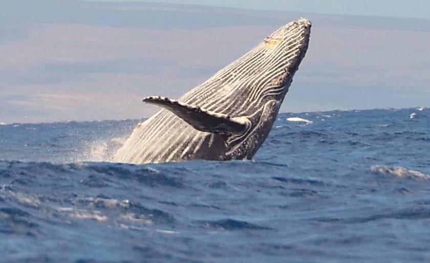 The Whaler Unit