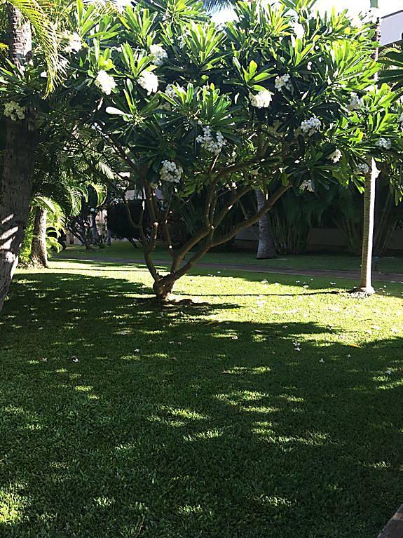 Maui Banyan G508