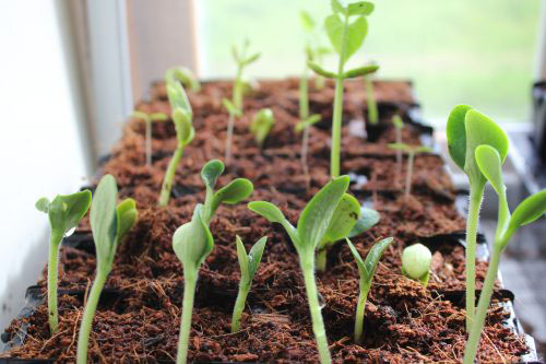 Courgette Seedlings Growing Healthy