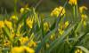 Kosaciec żółty
