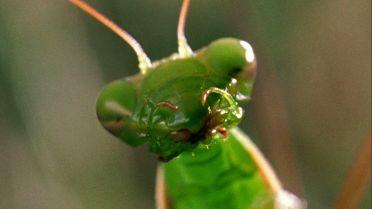 Praying Mantis - Cannibalism