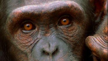 Chimpanzee - Hunting Technique