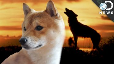 Dogs - Domestication