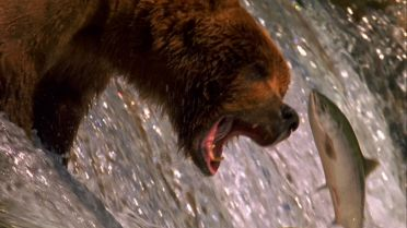Salmon - Migration