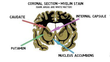 Brain - Striatum