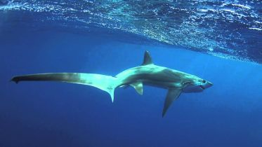 Thresher Shark - Stunning Tail