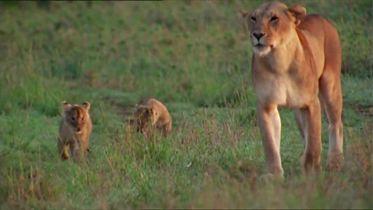 Lion - Infancy