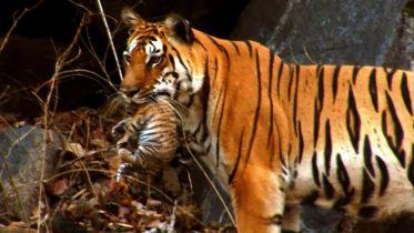 Tiger - Infancy