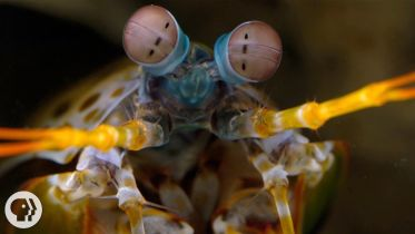 Mantis Shrimp - Eyes