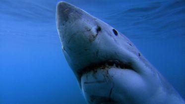 Shark - Hunting Technique