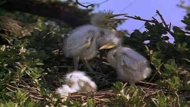 Snowy Egret - Parenthood