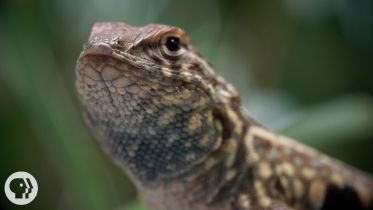 Side-blotched Lizard - Social Behavior