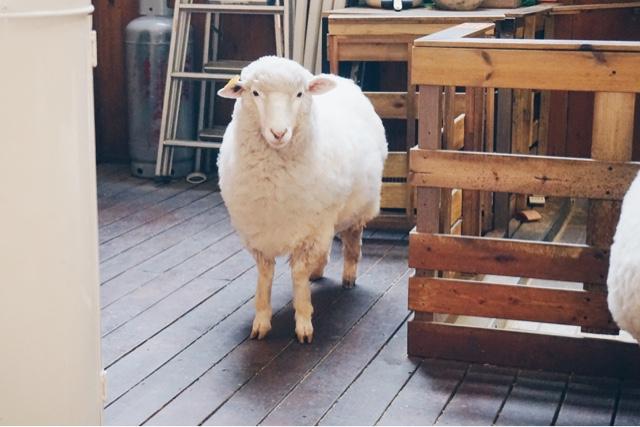 An Adorable Sheep at Thanks Nature Café